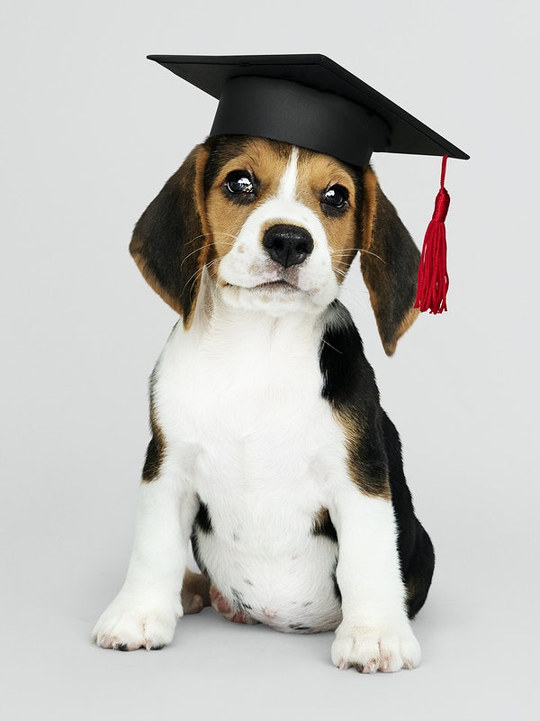 A beagle puppy looking straight at the camera with a graduation cap in his head